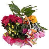 Flowers in a pot as a gift to a girl - flowers and bouquets on df.ua