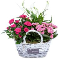 Beautiful indoor flowers in the basket - flowers and bouquets on df.ua