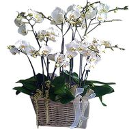 Orchids in the basket - flowers and bouquets on df.ua