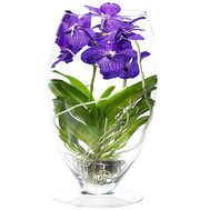 Wanda`s Orchid in Glass - flowers and bouquets on df.ua