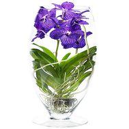 Орхідея Ванда в склі - цветы и букеты на df.ua