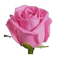 Pink roses per piece - flowers and bouquets on df.ua