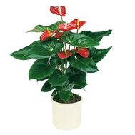 Anthurium in the pot - flowers and bouquets on df.ua