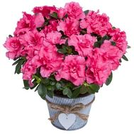 Azalea in the pot - flowers and bouquets on df.ua