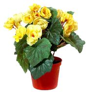 Begonia yellow - flowers and bouquets on df.ua