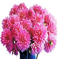 Large bouquet of pink dahlias - flowers and bouquets on df.ua