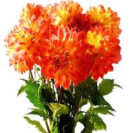Bouquet of dahlias - flowers and bouquets on df.ua