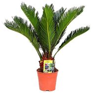 Cycas in a pot - flowers and bouquets on df.ua