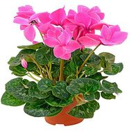 Cyclamen in the pot - flowers and bouquets on df.ua