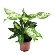 Dieffenbachia in the pot - flowers and bouquets on df.ua