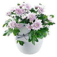 Chrysanthemum in a pot - flowers and bouquets on df.ua