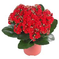 Kalanchoe in the pot - flowers and bouquets on df.ua