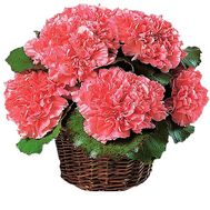 Basket of flowers from carnations - flowers and bouquets on df.ua