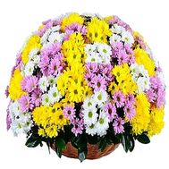 Basket of multi-colored chrysanthemums - flowers and bouquets on df.ua