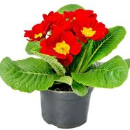 Red Primula - flowers and bouquets on df.ua