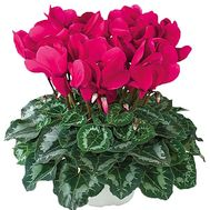 Red Cyclamen - flowers and bouquets on df.ua