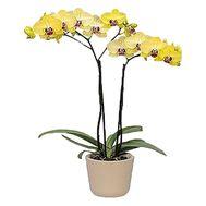 Орхідея в горщику - цветы и букеты на df.ua