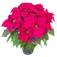 Poinsettia in the pot - flowers and bouquets on df.ua