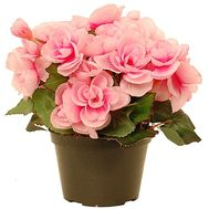 Pink Begonia - flowers and bouquets on df.ua