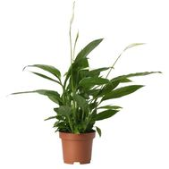 Female happiness (Spathiphyllum) - flowers and bouquets on df.ua
