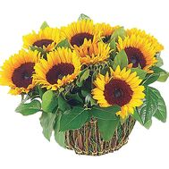 Basket of sunflowers - flowers and bouquets on df.ua