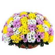 Huge basket of colorful chrysanthemums - flowers and bouquets on df.ua