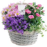 Indoor flowers in the basket - flowers and bouquets on df.ua