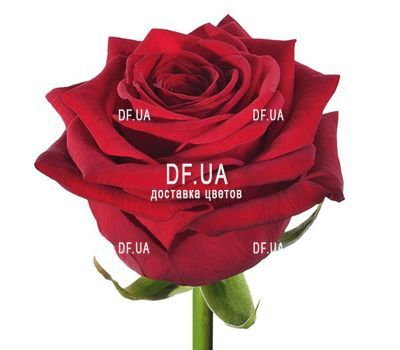 """Red roses per piece"" in the online flower shop df.ua"