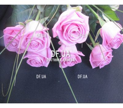 """Bouquet of 7 roses view 2"" in the online flower shop df.ua"