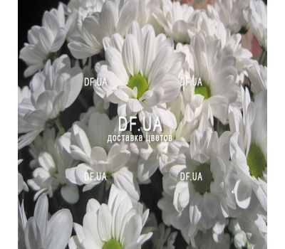 """""""Beautiful camomiles - view 4"""" in the online flower shop df.ua"""